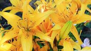 yellow lilies yellow lilies 4k hd desktop wallpaper for 4k ultra hd tv