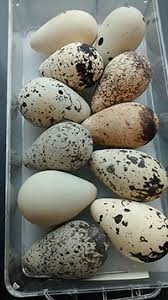 the beauty and biology of egg color all about birds
