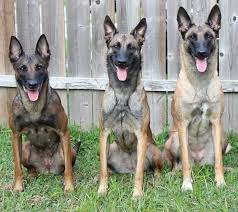 belgian shepherd malinois temperament belgian shepherd dog groenendael tervuren malinois laekenois