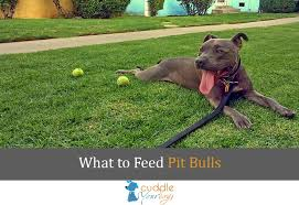 what to feed pitbulls things to consider