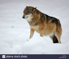 lower rank wolf canis lupus with its ears held back and its