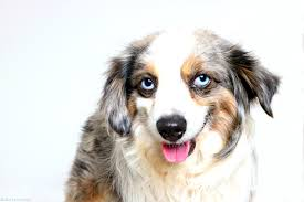 3 4 australian shepherd 1 4 blue heeler australian shepherd wallpapers animal hq australian shepherd