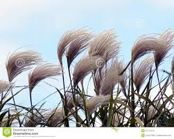 ornamental grass in the wind stock photos image 27174773