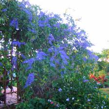 tropical wisteria or petrea vine for zone 10 or 11 needs a strong
