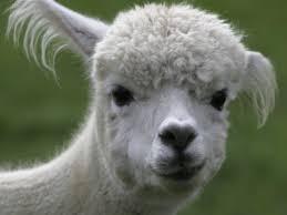 sexy alpaca blank template imgflip