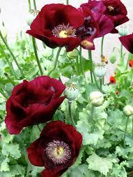 poppies my favorite flower garden pinterest flower