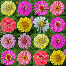 Zinnia Flowers Zinnia Bing Images For Our Future Patio Area Pinterest