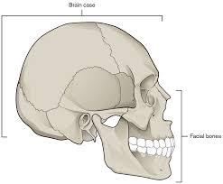 Human Anatomy Skull Bones Skull Bones Features And Clip Art Library
