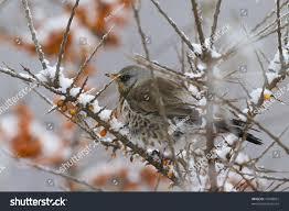 garden birds eating berries in winter snow stock photo 70448851