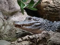 bartender resume template australia zoo crocodile feeding videos chinese alligator alligator sinensis in this case adorable
