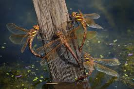 biology u0026 ecology british dragonflies org uk