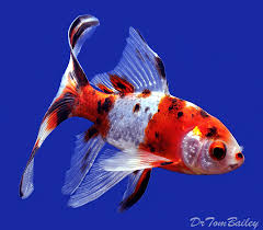 pond comet goldfish for sale at aquariumfish net where you can