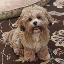 shichons haircut 36 best shichon puppies images on pinterest teddybear teddy