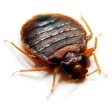One Bed Bug Bed Bugs Bed Bug Exterminators Pinpoint