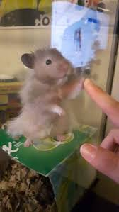 61 best hamsters images on pinterest animals rodents and dwarf