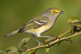 Indiana birds images Shrikes vireos all 9 species expected in indiana have been jpg