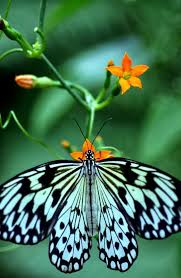 31 best blue butterfly images on pinterest