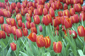 Netherlands Tulip Fields Dutch Tulip Tour Small Group Package Holiday Odyssey Traveller