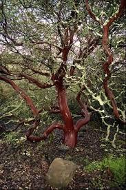 manzanita tree my favorite tree manzanitas almost enough to make me move from