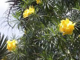 ornamental shrubs ornamental trees shrubs ornamental flowering