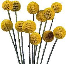 billy balls wholesale craspedia billy flowers billy flowers wholesale