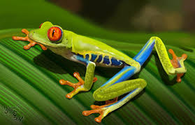eyed tree frog by grifforik on deviantart