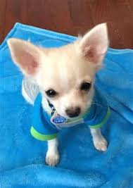 long hair chihuahua hair growth what to expect chihuahua age milestones for the puppy adult and senior