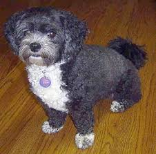 shih poo haircuts shih poo dog breed information and pictures shih poo pinterest