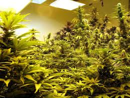 plant room which room in the house is best for growing weed grow weed easy