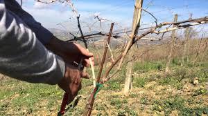 vine pruning guyot trellis youtube