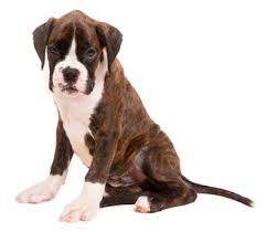 8 month old boxer dog weight best dog food for boxers