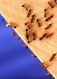 caes newswire fire ant invaders