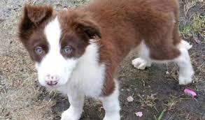 belgian shepherd x border collie paddy u2013 12 week old male border collie dog for adoption