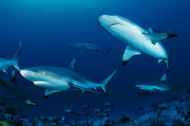 meet the world u0027s highest concentration of gray reef sharks