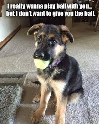 German Shepherd Memes - 23 totally relatable german shepherd memes rover com