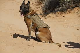 belgian shepherd malinois military dvids images military working dogs handlers train image 1 of 13