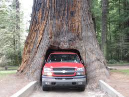 Chandelier Tree California Chandelier Drive Thru Tree Brakes