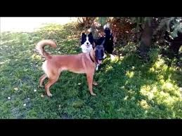 belgian sheepdog mixed with border collie border collie and belgian shepherd playing youtube