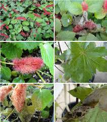 Australasian Plant Disease Notes - gray mold caused by amphobotrys ricini on acalypha herzogiana