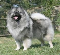 how big is american eskimo dog keeshond wikipedia