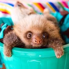 Angry Sloth Meme - 15 unbearably cute sloth pics to celebrate the international sloth