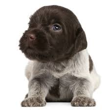 affenpinscher qualities wirehaired pointing griffon breed information characteristics