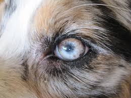 australian shepherd eye diseases australian shepherd with uveodermatological syndrome eyes summary
