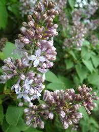 magical mother u0027s day flowers the lilac u2013 burdock u0026 rose