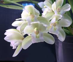 cymbidium orchids orchid insanity cymbidium jean cascade