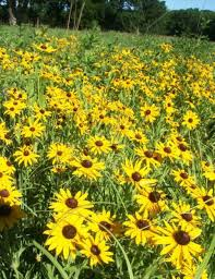 salina ks sunflower field by kansas state university summer a time to get on the road again and discover kansas