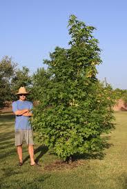 sweetgum tree southern trees