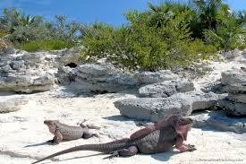 iguana island exuma swim with pigs retired and travelling