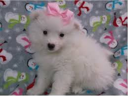 american eskimo dog breeders new york puppy classifieds puppies for sale dog breeders pet stores long