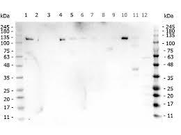 parp1 n term zf1 antibody 200 401 gm8s